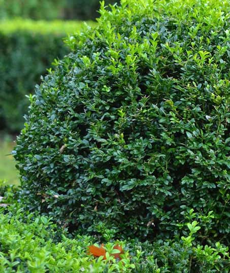 Sterling Lawn & Landscape Shrubs & Hedges
